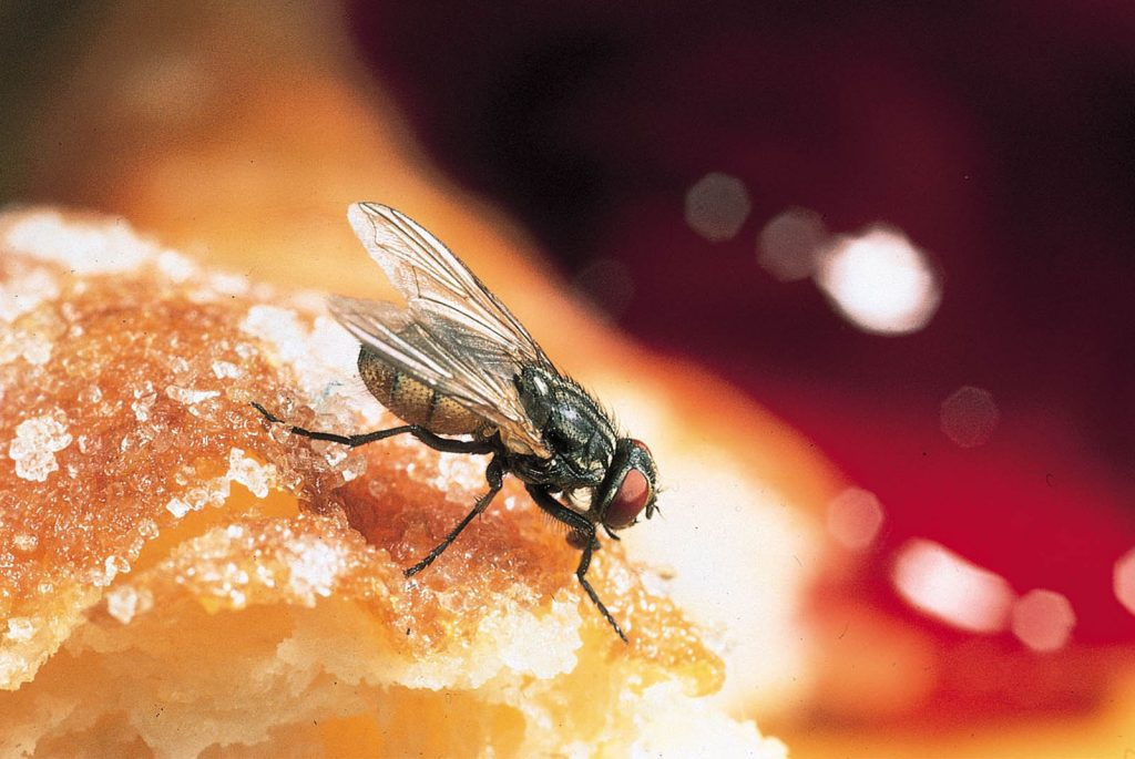 house fly control service in kanpur, lucknow, india krypton pest control