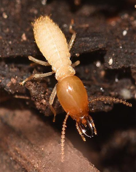 Termite control service in kanpur and lucknow krypton pest control